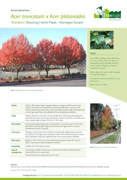 Shantung Hybrid Maple – Norwegian Sunset