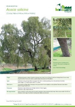 Native Willow
